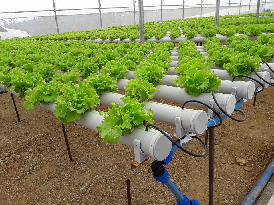 Giresun'da Bir İlk: Topraksız Tarım Yöntemiyle Serada Marul Üretiliyor